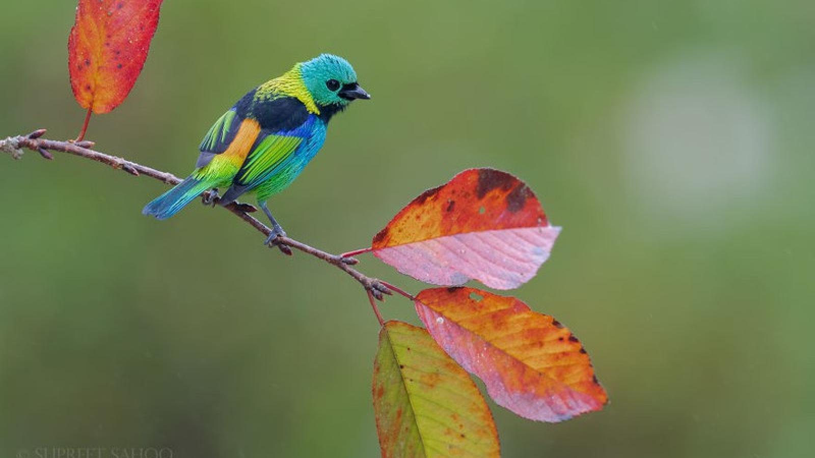 Vẻ đẹp diệu kỳ của những loài chim sặc sỡ trong các khu rừng ở Nam Mỹ