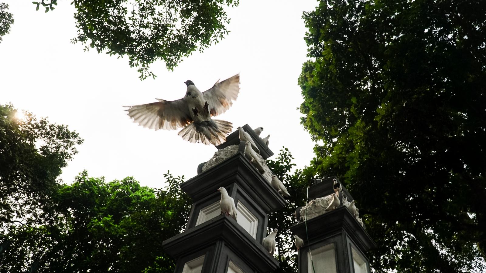 Ngắm đàn chim bồ câu bên hồ Hoàn Kiếm