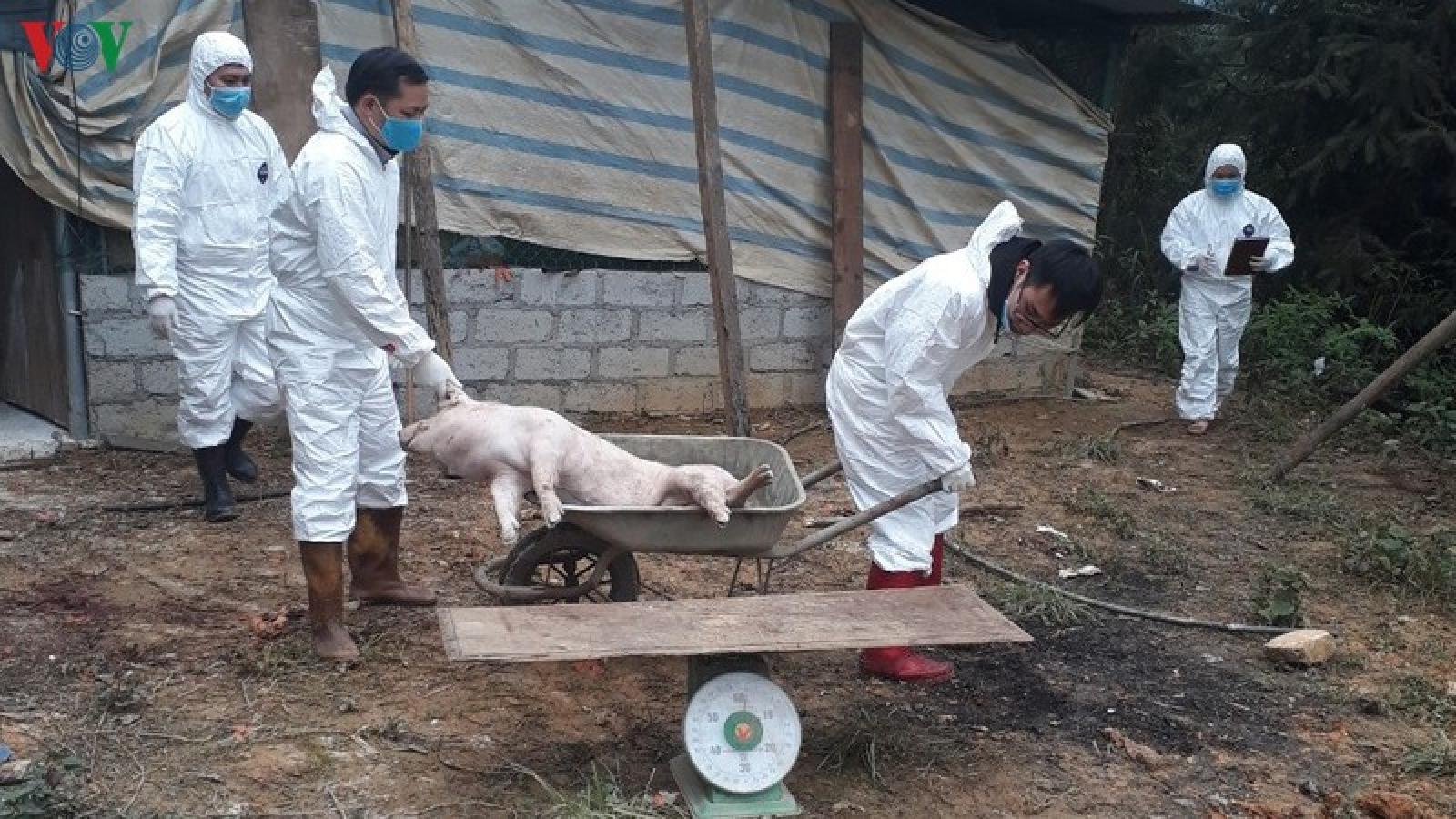 Lại xuất hiện ổ dịch tả lợn châu Phi ở Bắc Kạn