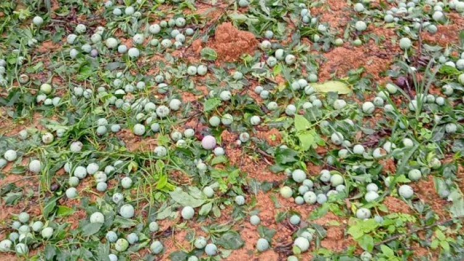 Mưa đá làm bà con trồng mận, xoài Yên Châu thiệt hại nặng