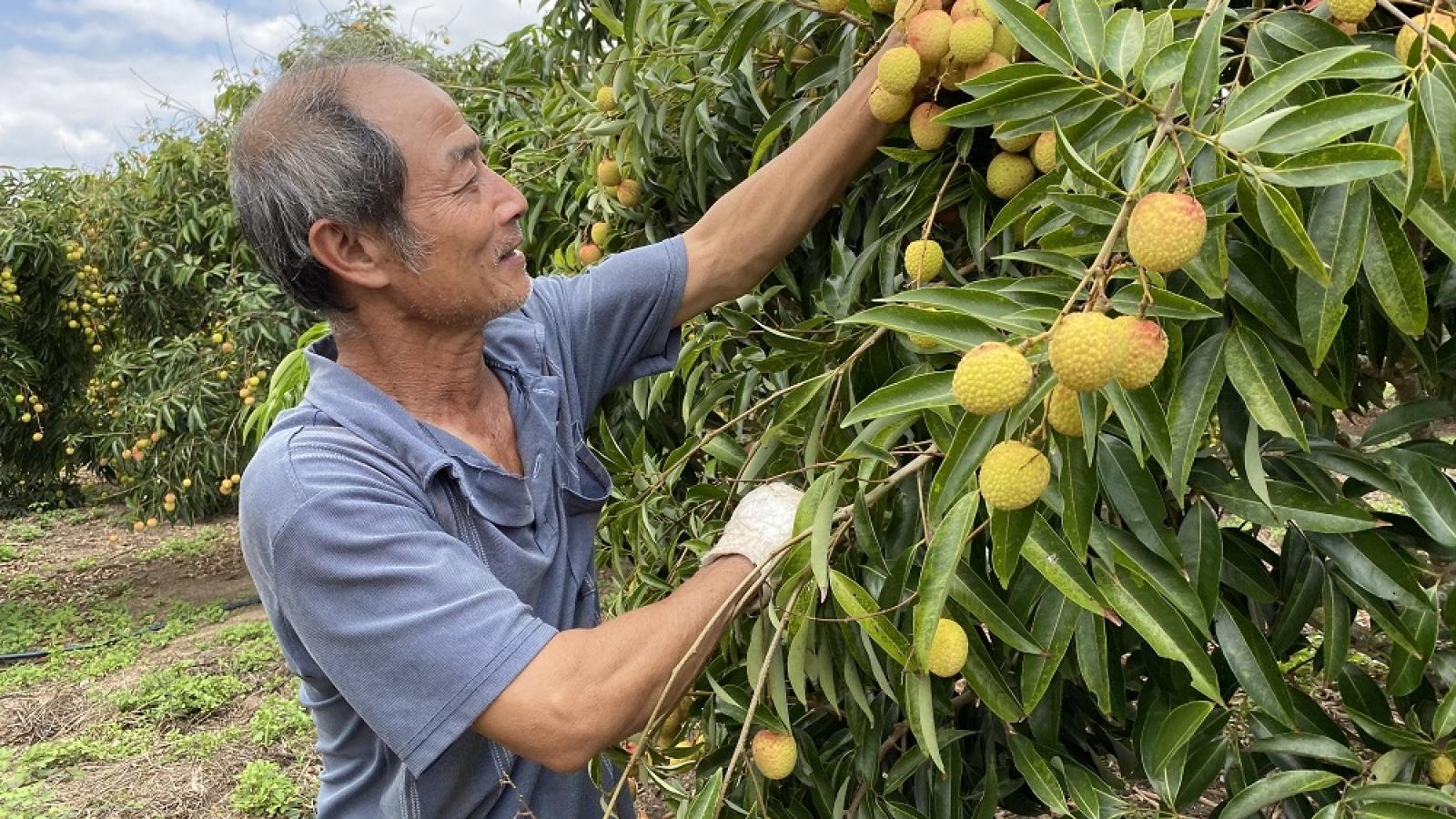 Vải Lục Ngạn trên đất cao nguyên: Nông dân thu lời hàng tỷ đồng