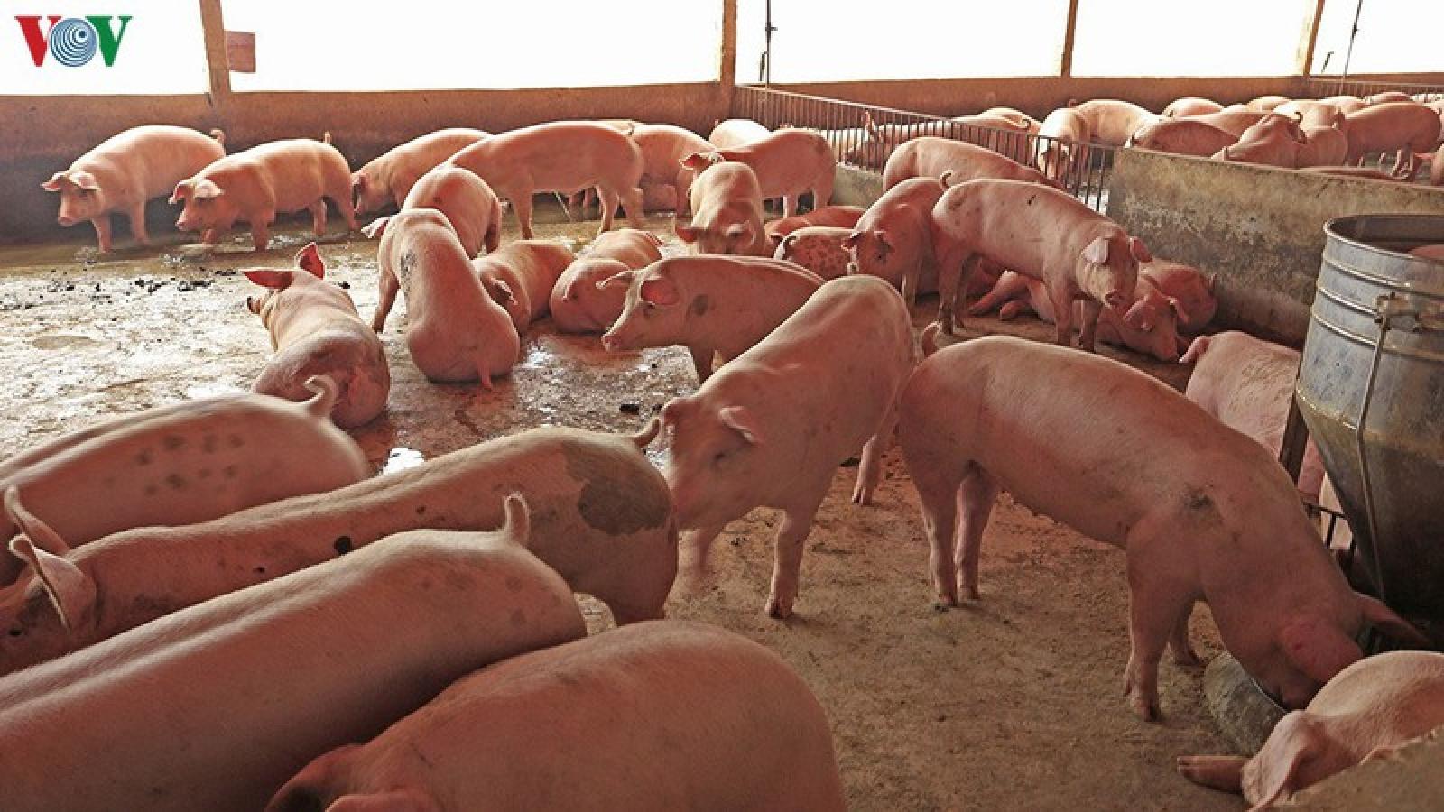 Thúc đẩy chăn nuôi lợn nhưng phải đảm bảo an toàn dịch bệnh