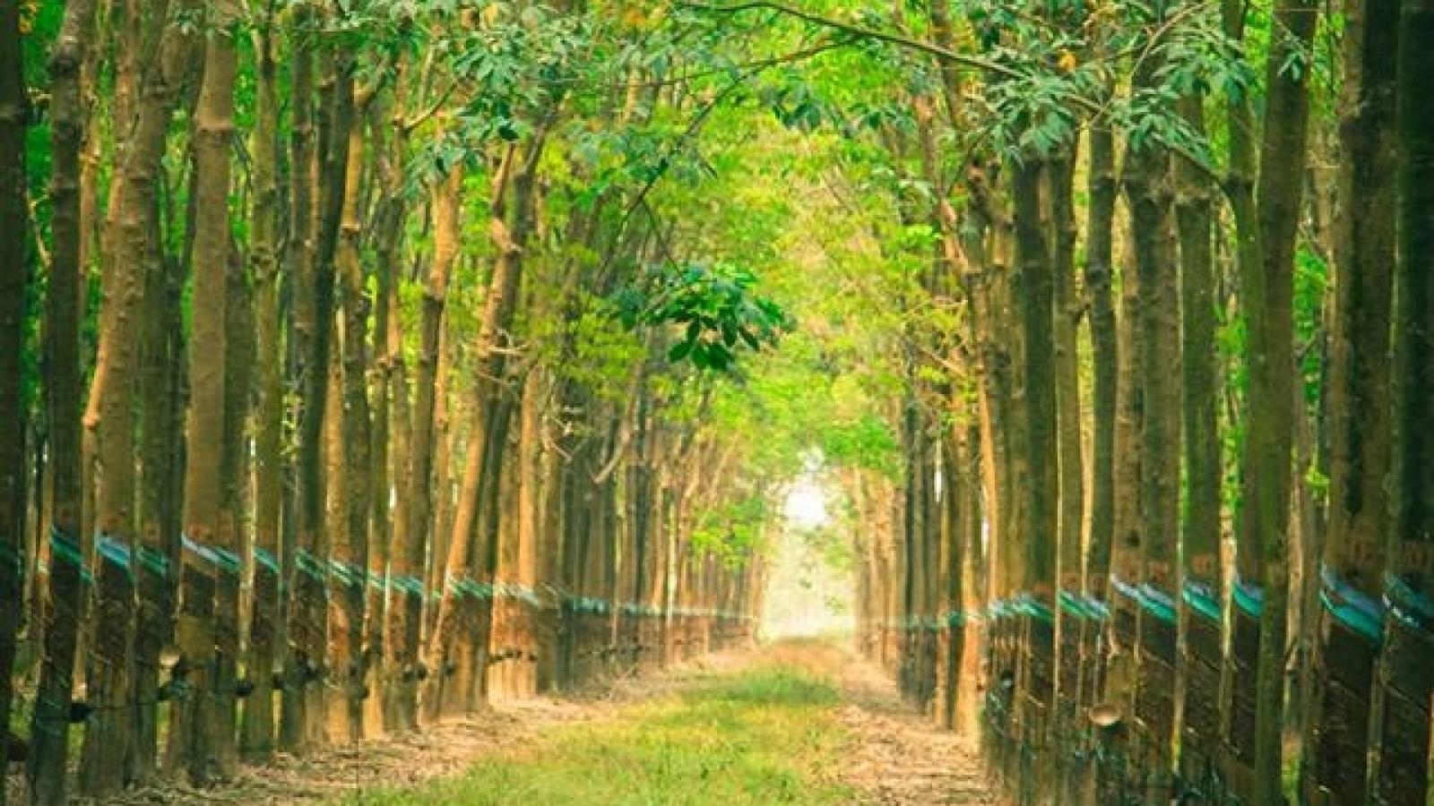 Campuchia thu gần 100 triệu USD từ xuất khẩu cao su bất chấp Covid-19