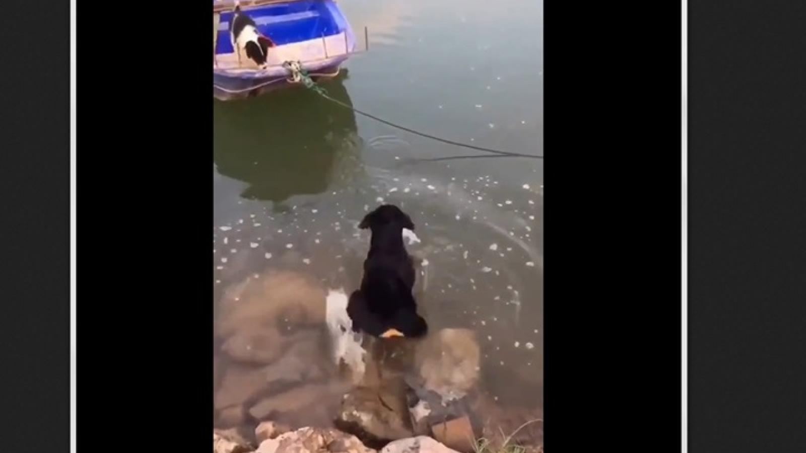 """Video: Chó """"cứu hộ"""" dũng cảm giải cứu bạn chó ở trên thuyền đưa vào bờ"""
