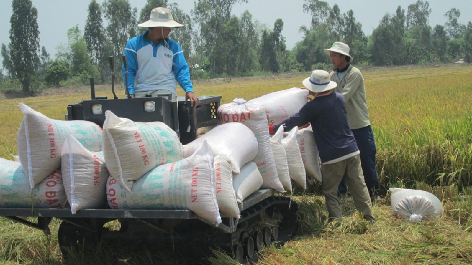 Giá lúa tăng cao, doanh nghiệp ngại thu mua