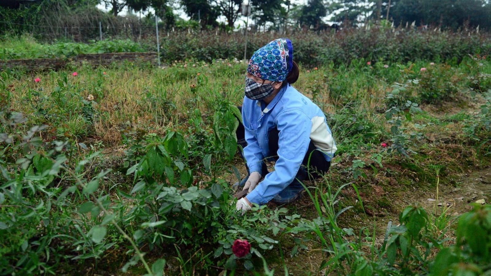 Người dân thôn Hạ Lôi xót xa nhìn ruộng hoa úa tàn sau 28 ngày cách ly