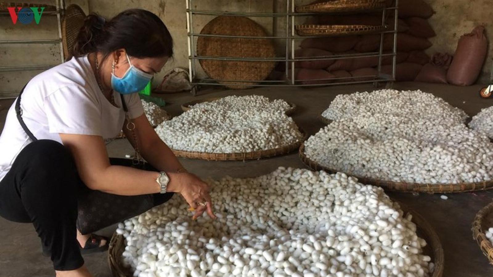 Người nuôi tằm tại Lâm Đồng gặp khó khi giá kén giảm sâu