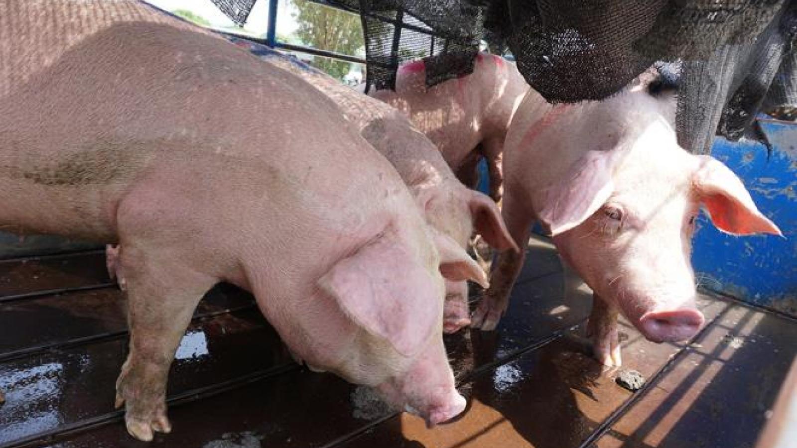 Giá lợn hạ nhiệt: Dân buôn, tiểu thương mong thoát lỗ