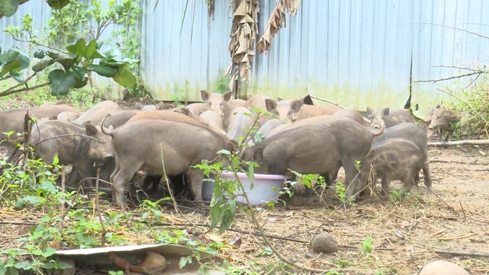 Thiếu nguồn cung, giá thịt lợn rừng ở Hậu Giang tăng gần gấp đôi