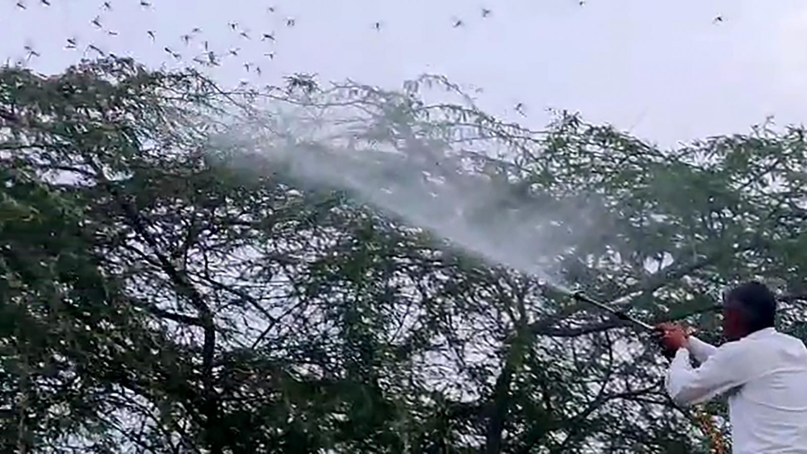 Ấn Độ báo động cao vì châu chấu sa mạc trong 4 tuần tới