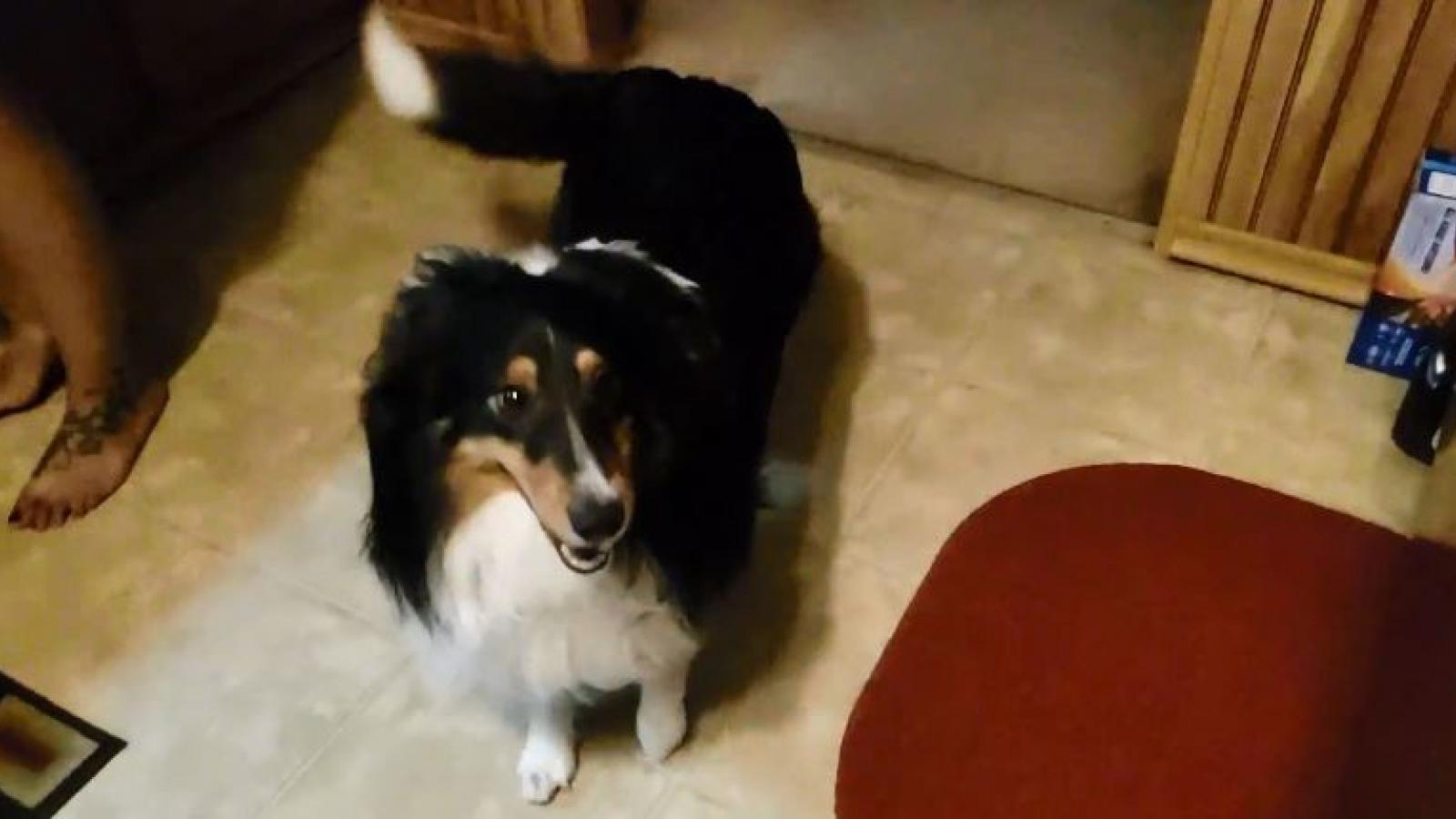 """Video: Chú chó """"nhảy lên vui sướng"""" khi thấy chủ nhân về nhà"""