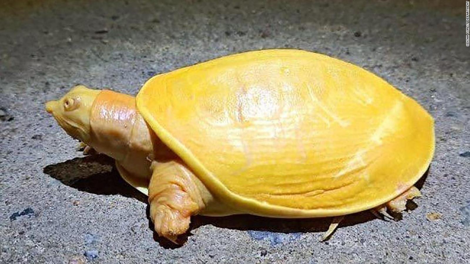 Chiêm ngưỡng chú rùa vàng bạch tạng cực hiếm ở Ấn Độ