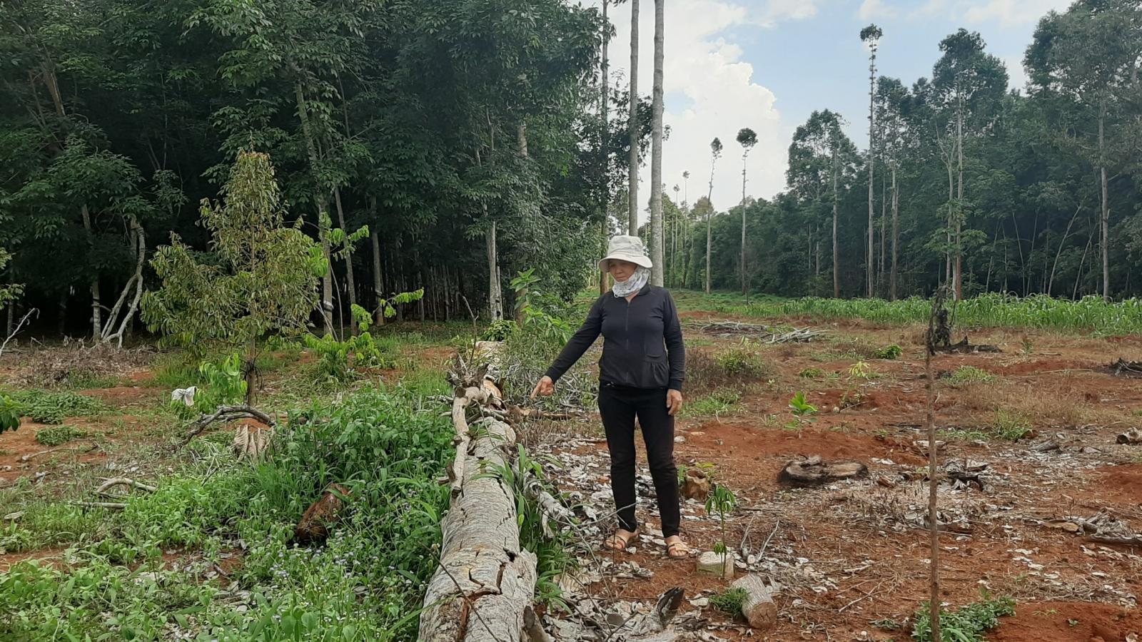 """Trồng rừng hơn 30 năm không được khai thác vì """"quy định trên trời"""""""