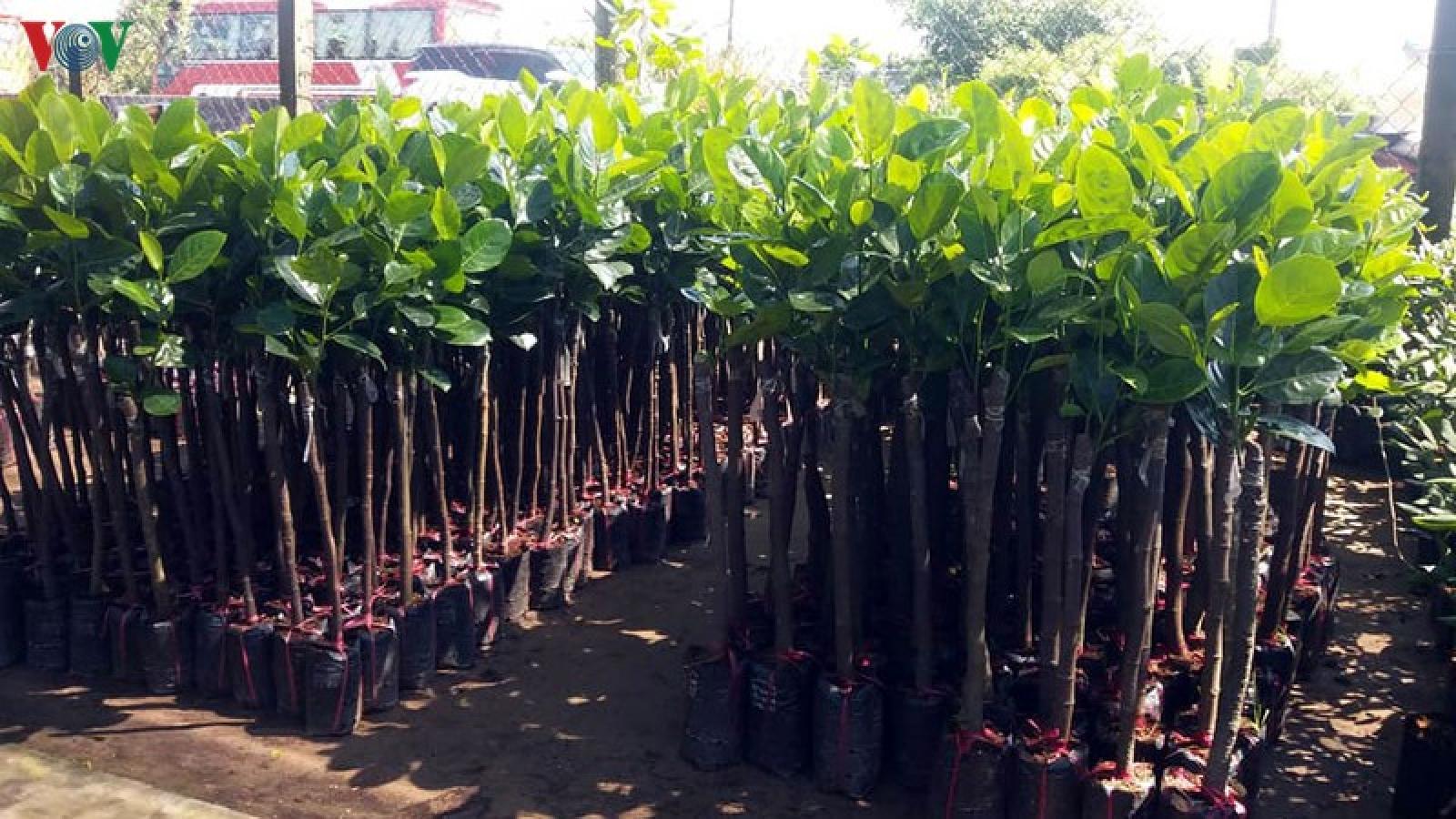 Sau hạn mặn, giá cây giống ở Tiền Giang tăng chóng mặt