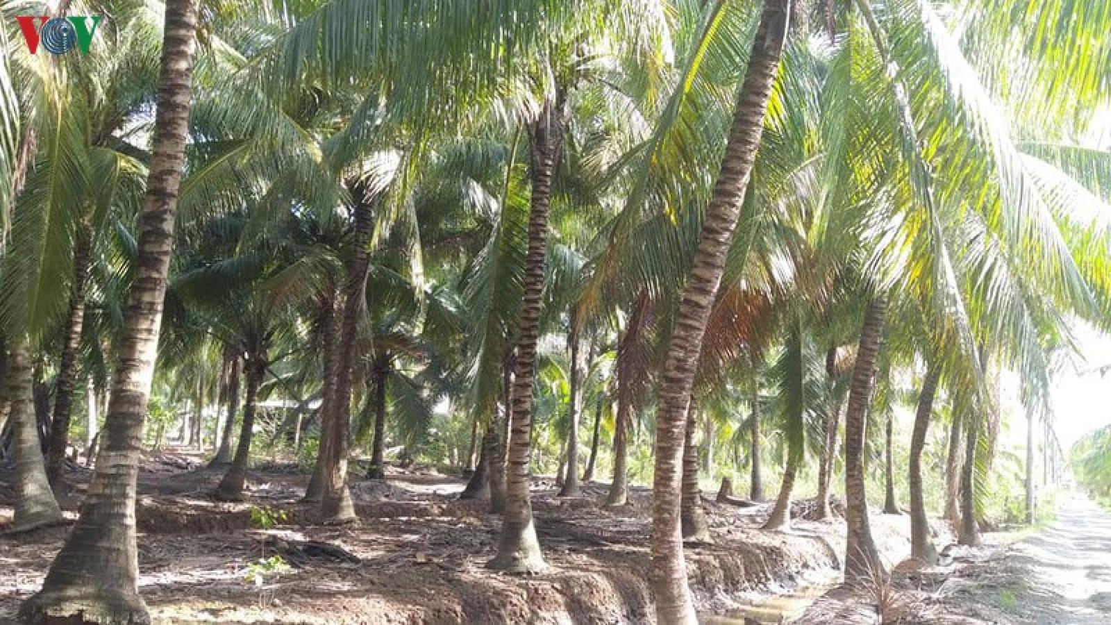 Sau hạn mặn cây dừa giảm năng suất, nhà vườn Bến Tre thất thu