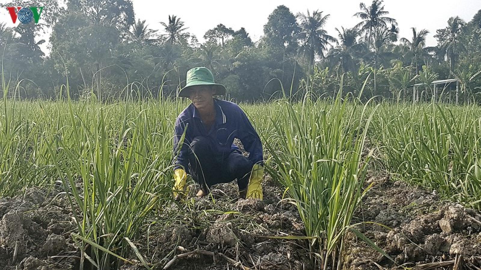 Thua lỗ nặng, nông dân Hậu Giang bỏ mía trồng cây khác