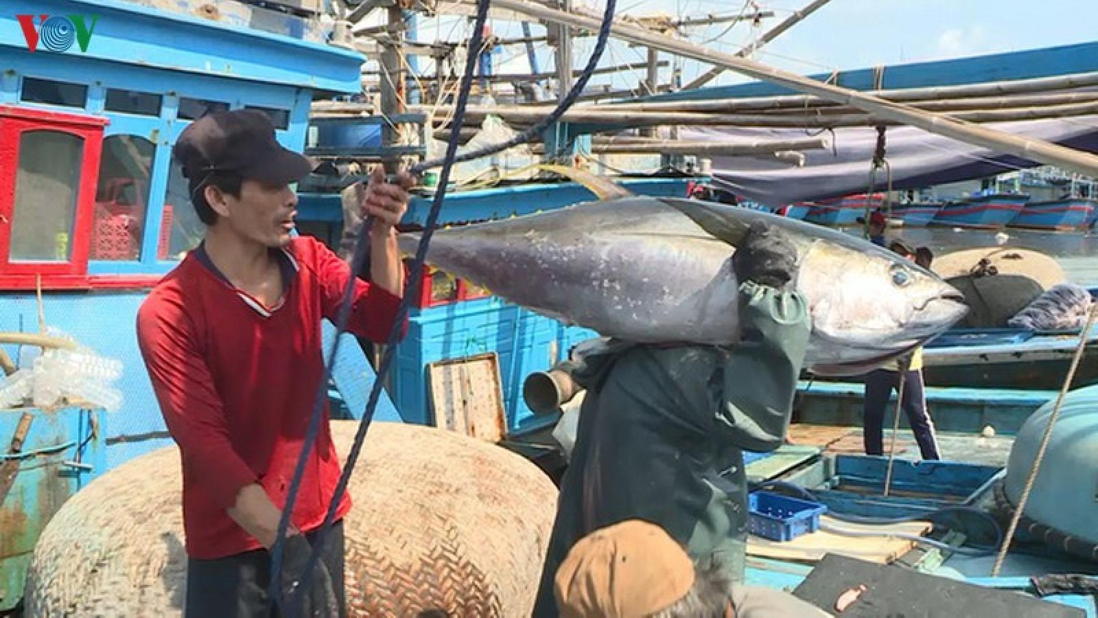 Thu nhập của ngư dân giảm do tổn thất sau thu hoạch cá ngừ