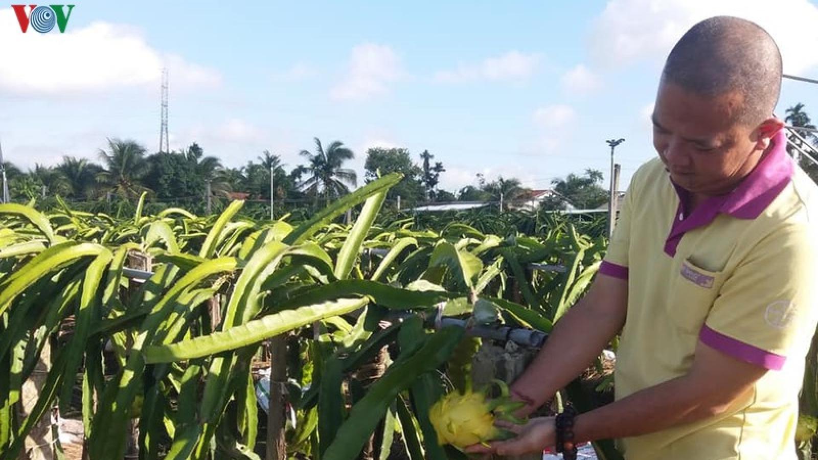 Làm giàu từ mô hình trồng thanh long giống mới, thích ứng hạn mặn