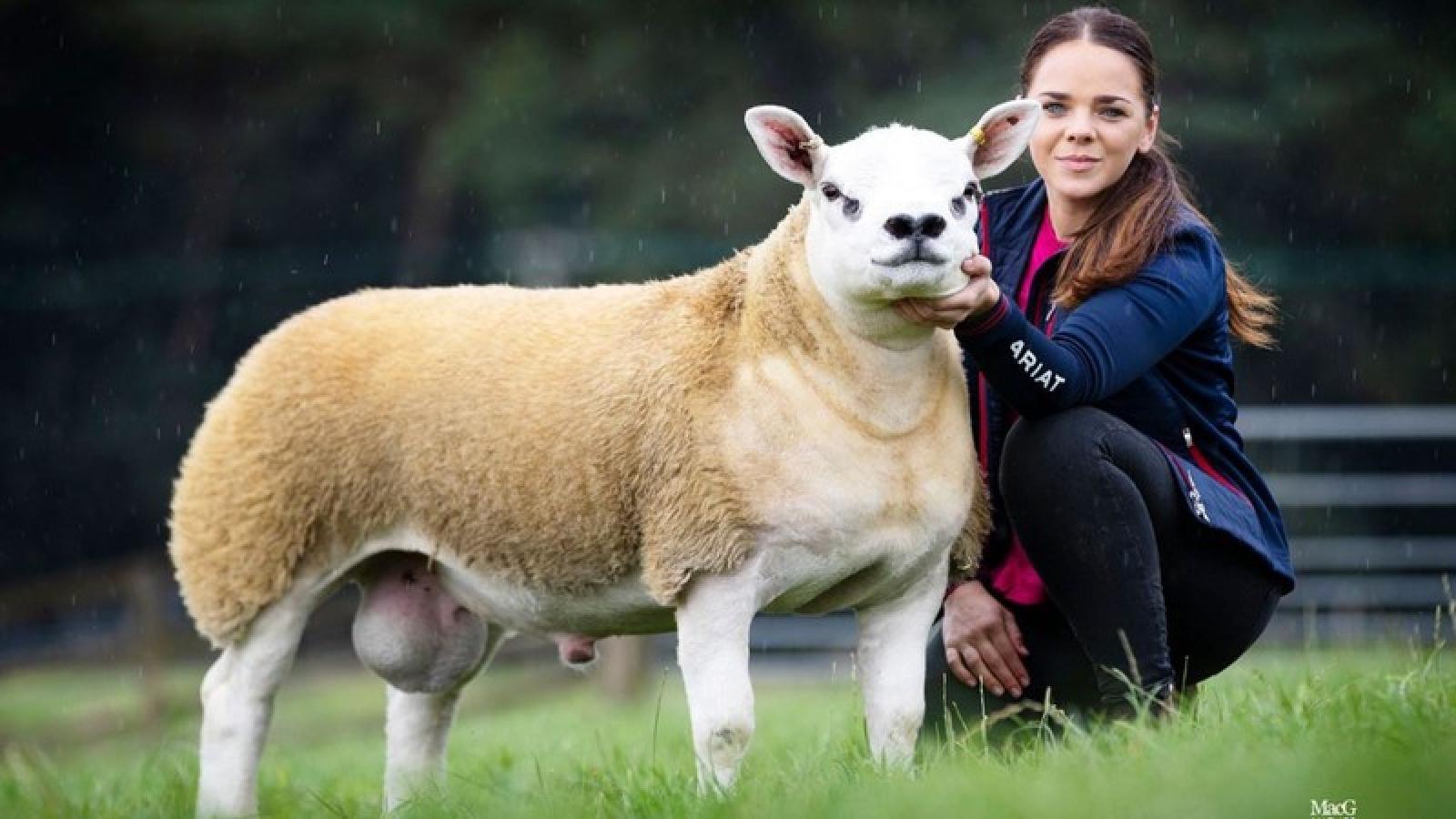 """Chú cừu đắt nhất thế giới được bán với mức giá cực """"khủng"""""""