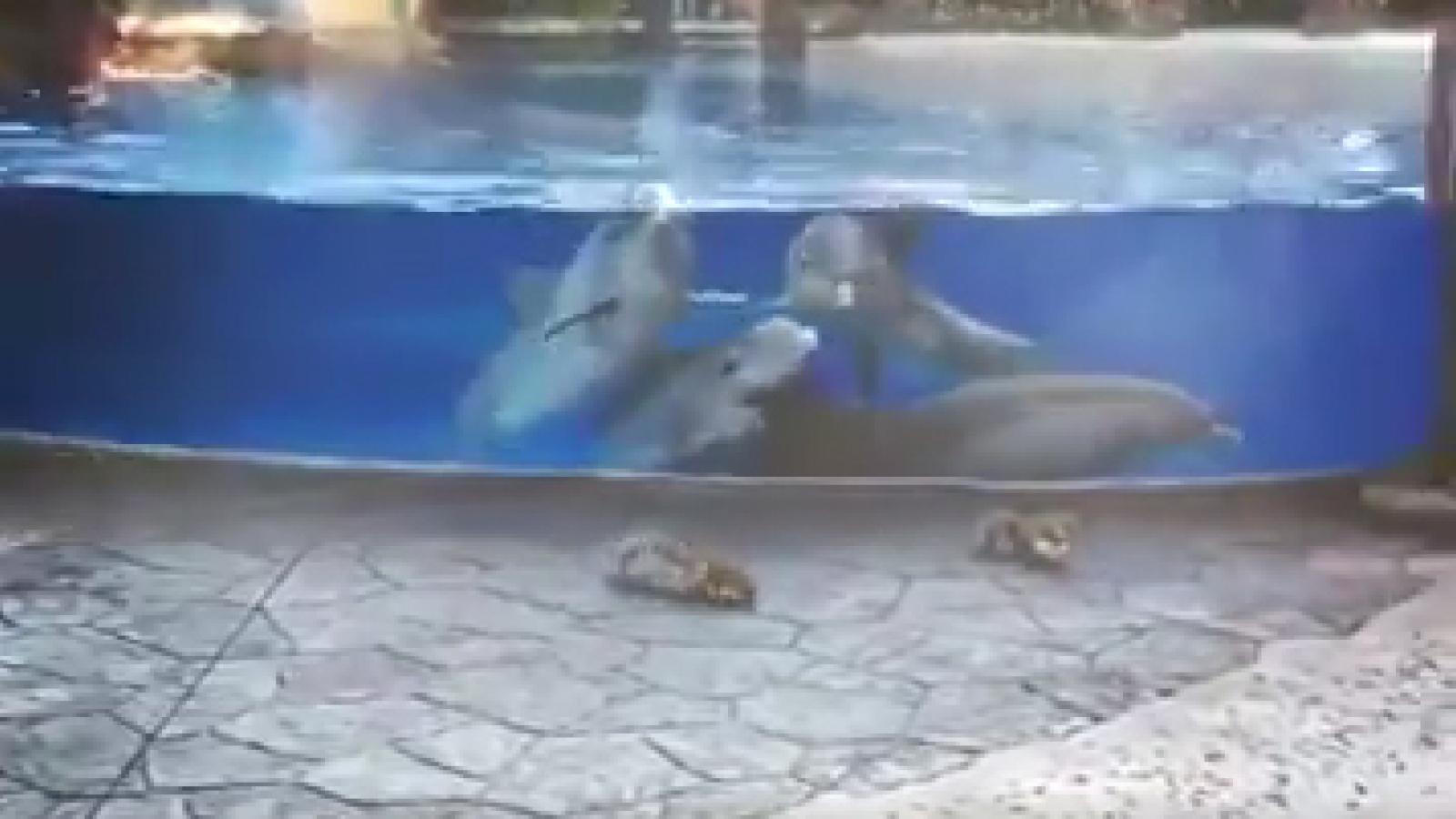 Video: Đàn cá heo tò mò xem 2 chú sóc chơi ngoài bể nước