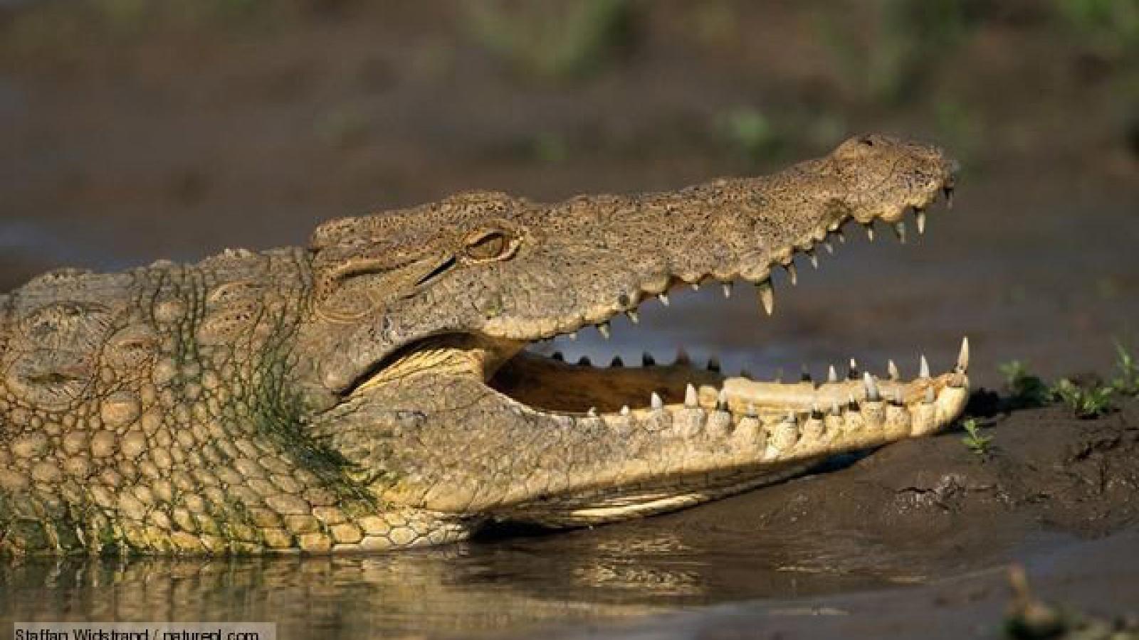 Video: Loài động vật khiến cá sấu sông Nile phải khiếp sợ