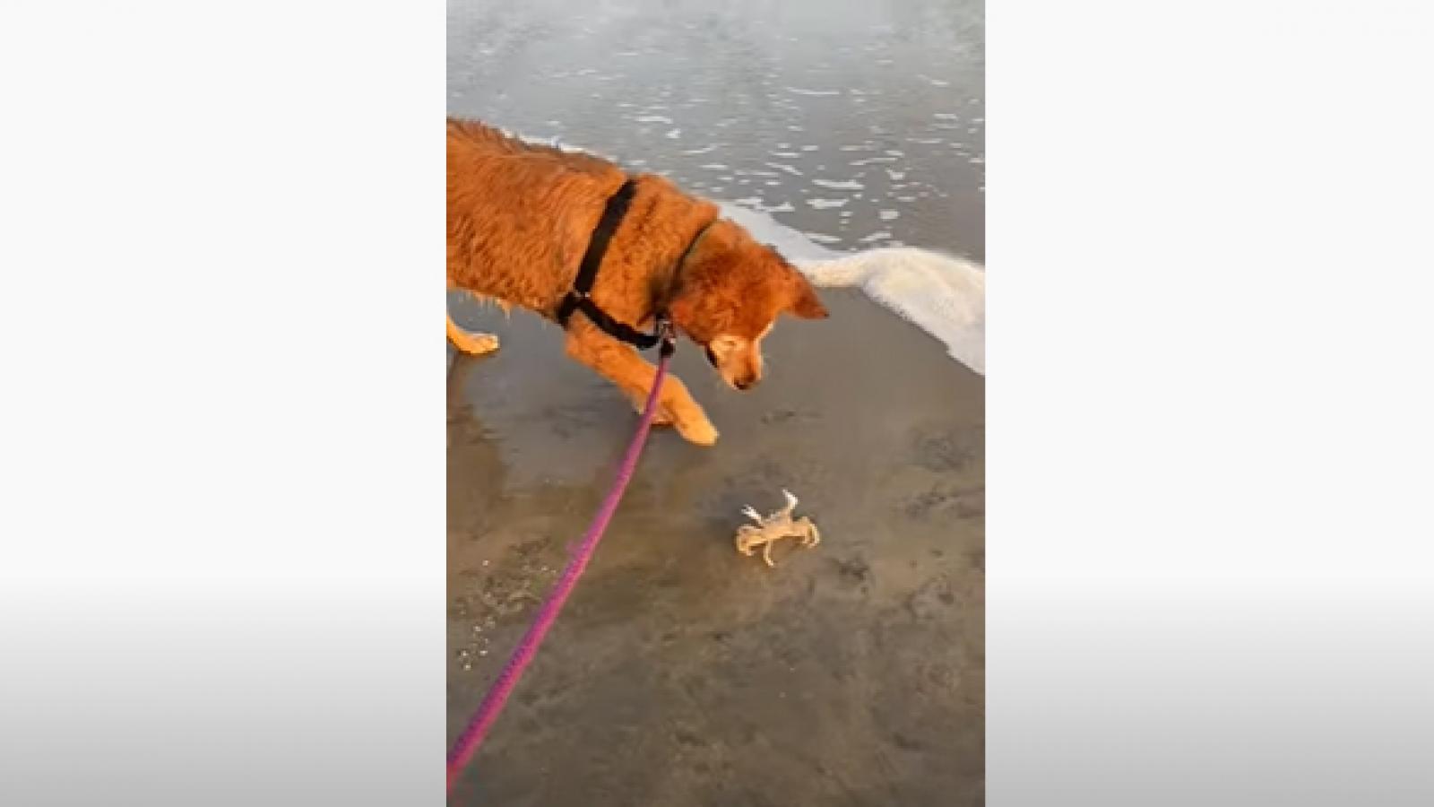 """Video: Cuộc chiến """"không kẻ thẳng"""" giữa chó và cua bên bờ biển"""