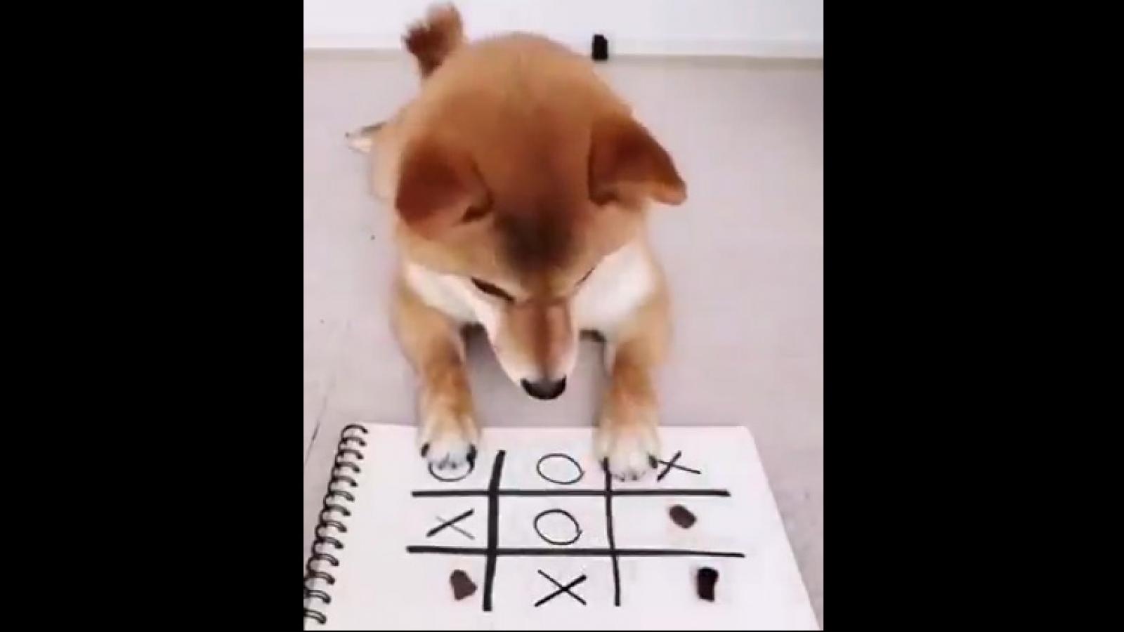 Video: Chú chó chiến thắng chủ nhân khi chơi cờ caro 9 ô