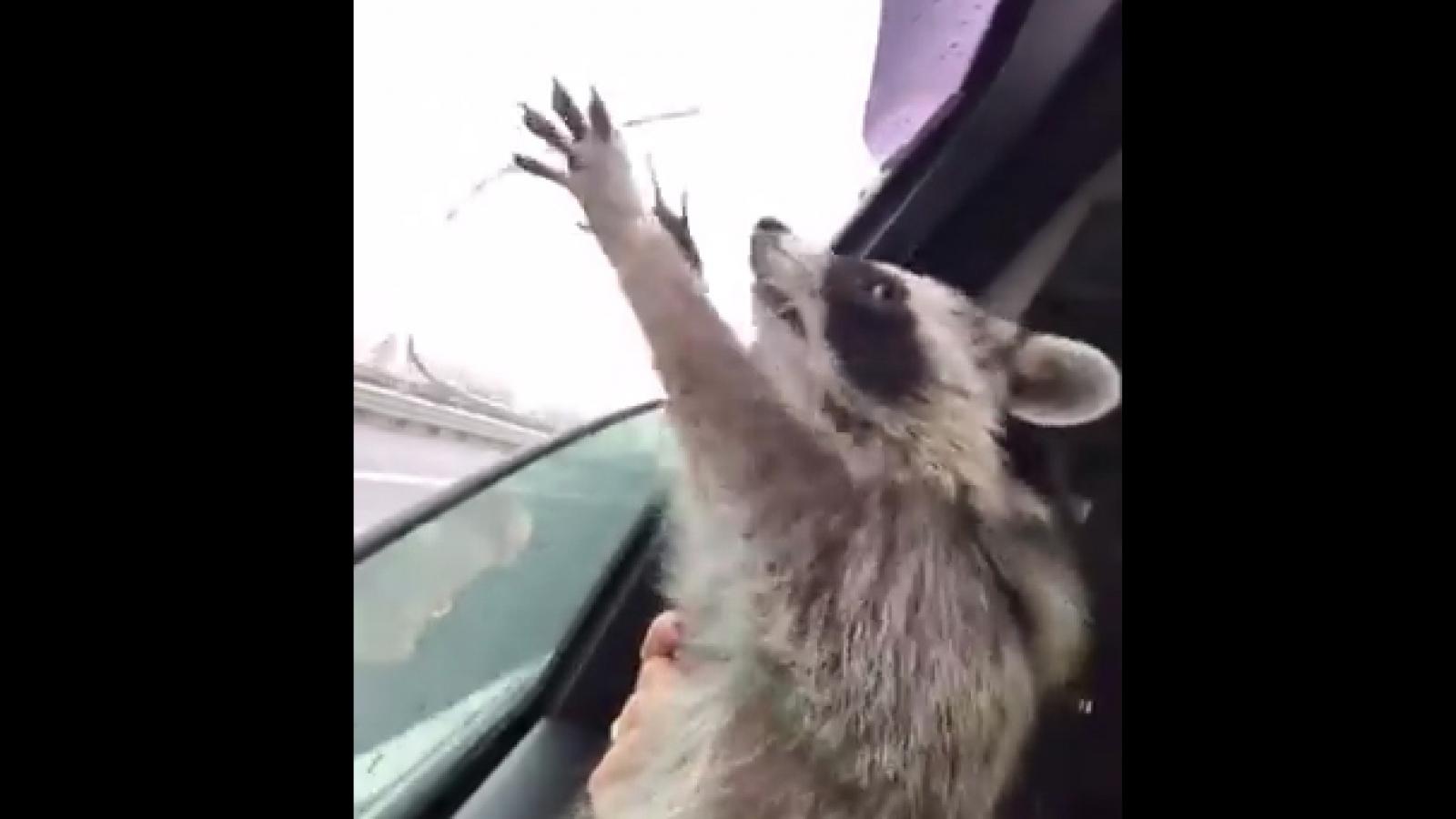 Video: Gấu trúc Mỹ tìm cách bắt những giọt nước mưa ngoài cửa sổ ô tô