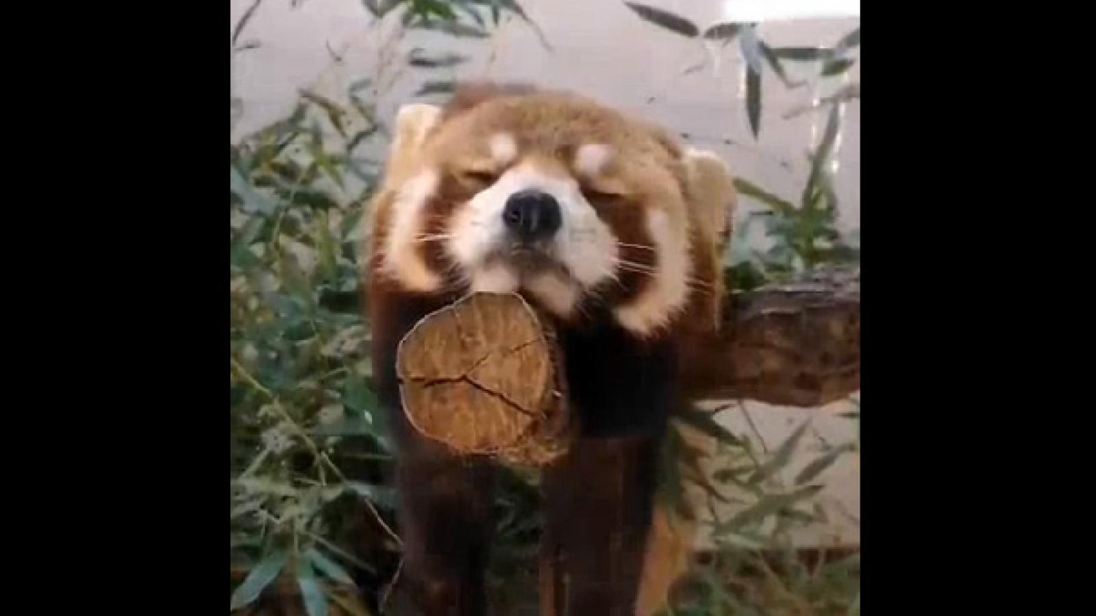 Video: Gấu trúc đỏ vừa ngủ vừa giữ thăng bằng trên cành cây