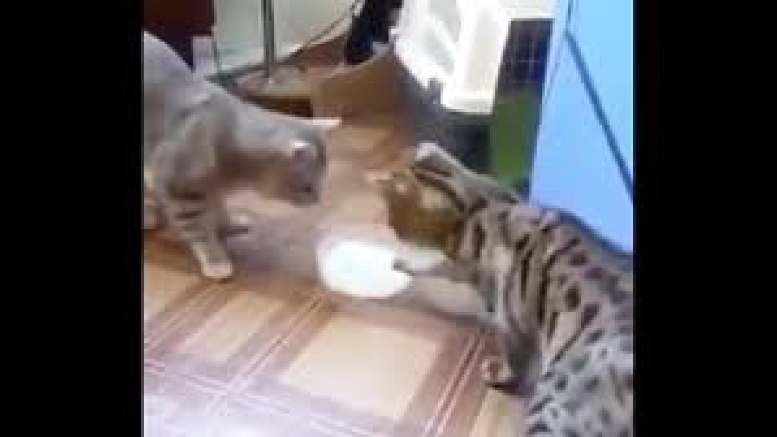 """Video: Hai chú mèo """"đùn đẩy"""" nhau bát sữa, không ai chịu uống trước"""