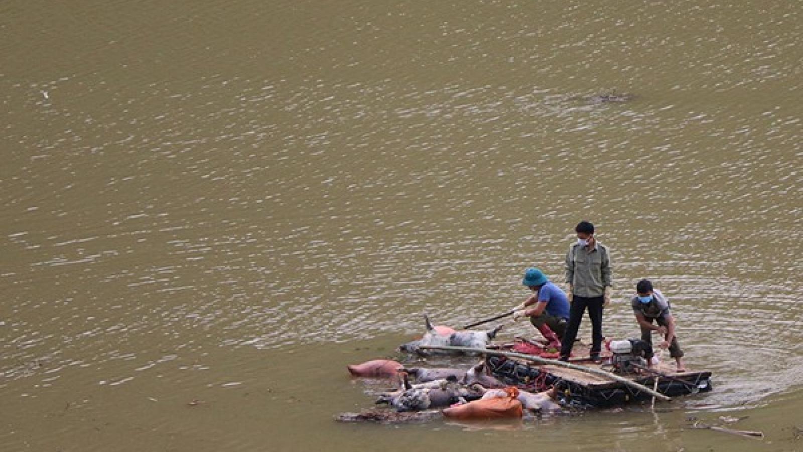 Xử lý nghiêm hành vi vứt xác lợn chết ra sông, suối ở Văn Bàn, Lào Cai