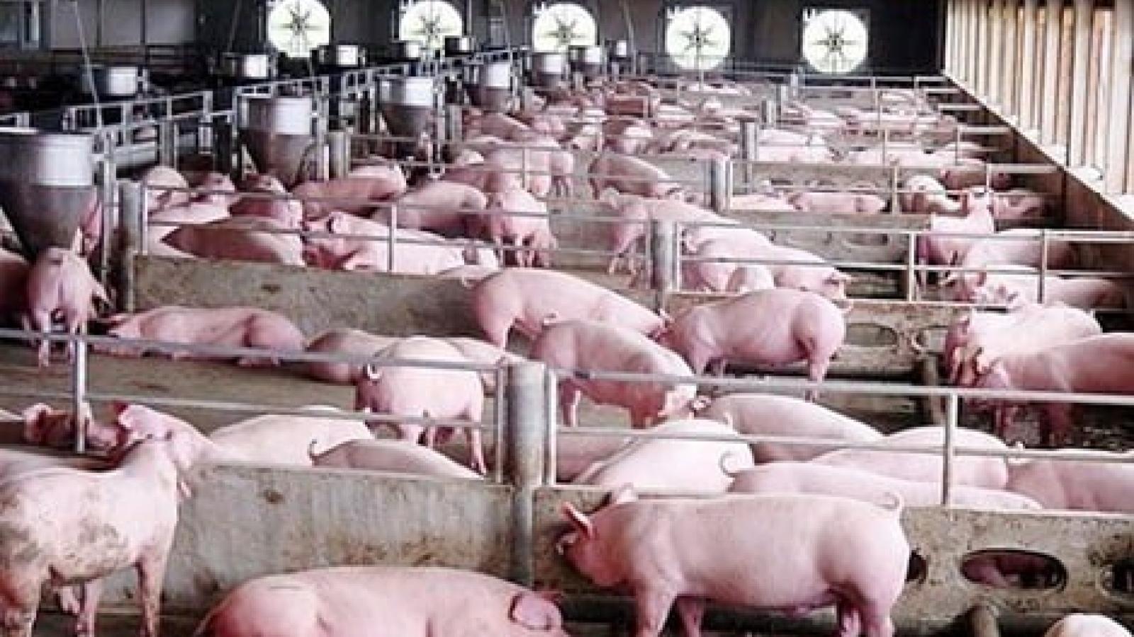 Xây dựng thành công ít nhất 500 cơ sở chăn nuôi lợn an toàn