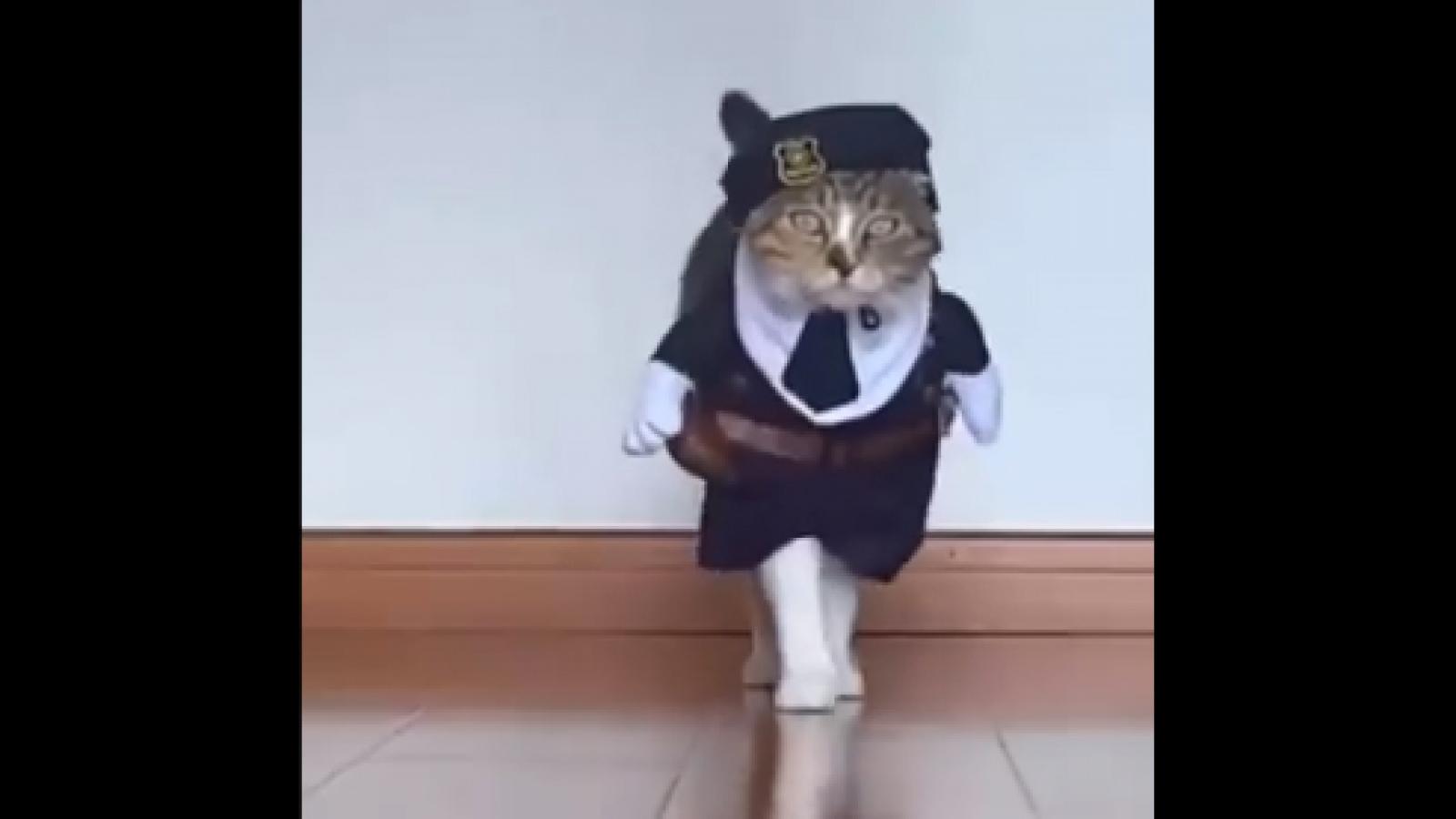 """Video: Màn catwalk cực """"thần thái"""" của mèo"""