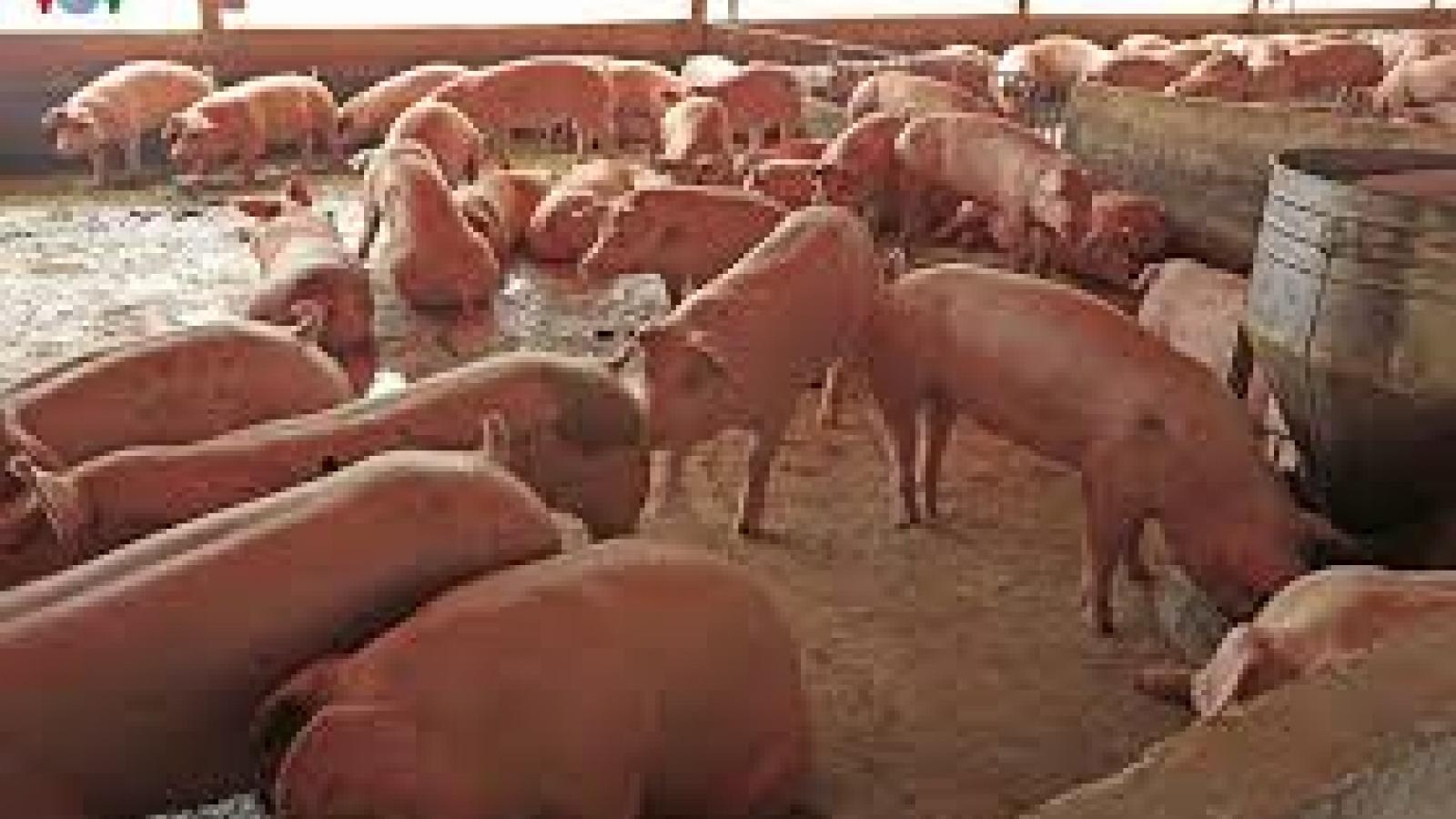 Trại lợn xả thải gây ô nhiễm môi trường ở Hà Nội
