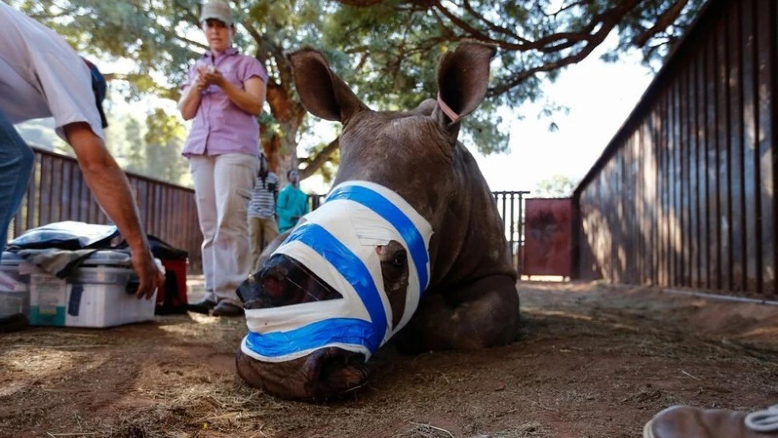 Tê giác châu Phi lâm nguy vì lời đồn vô căn cứ dùng sừng chữa Covid-19