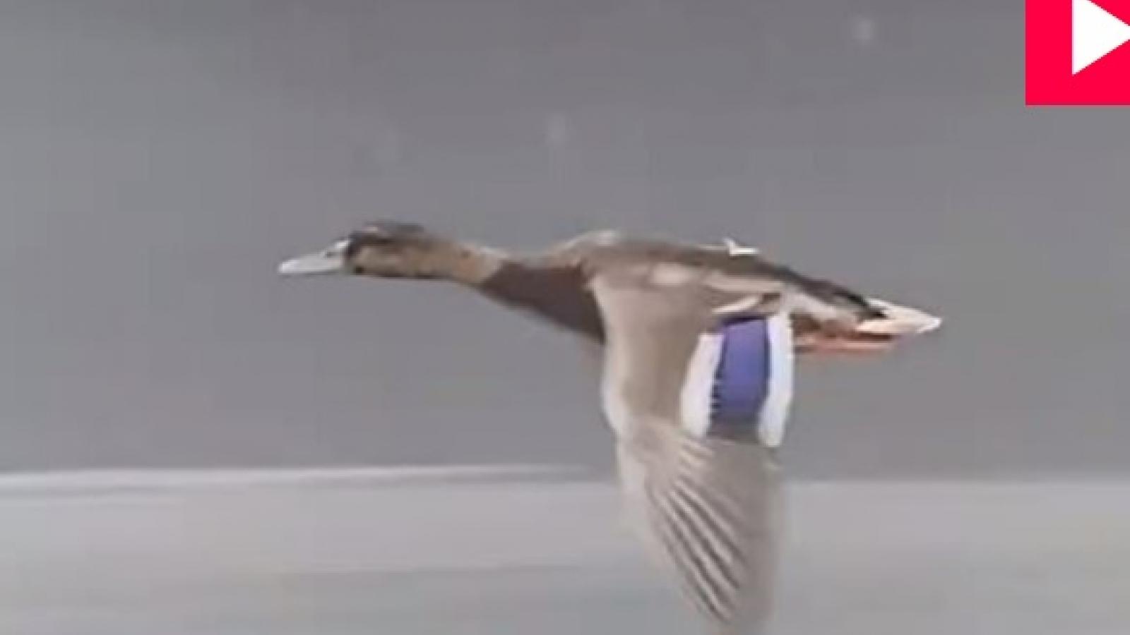Video: Kinh ngạc chú vịt bay cực nhanh giữa đường cao tốc, đua với cả ô tô