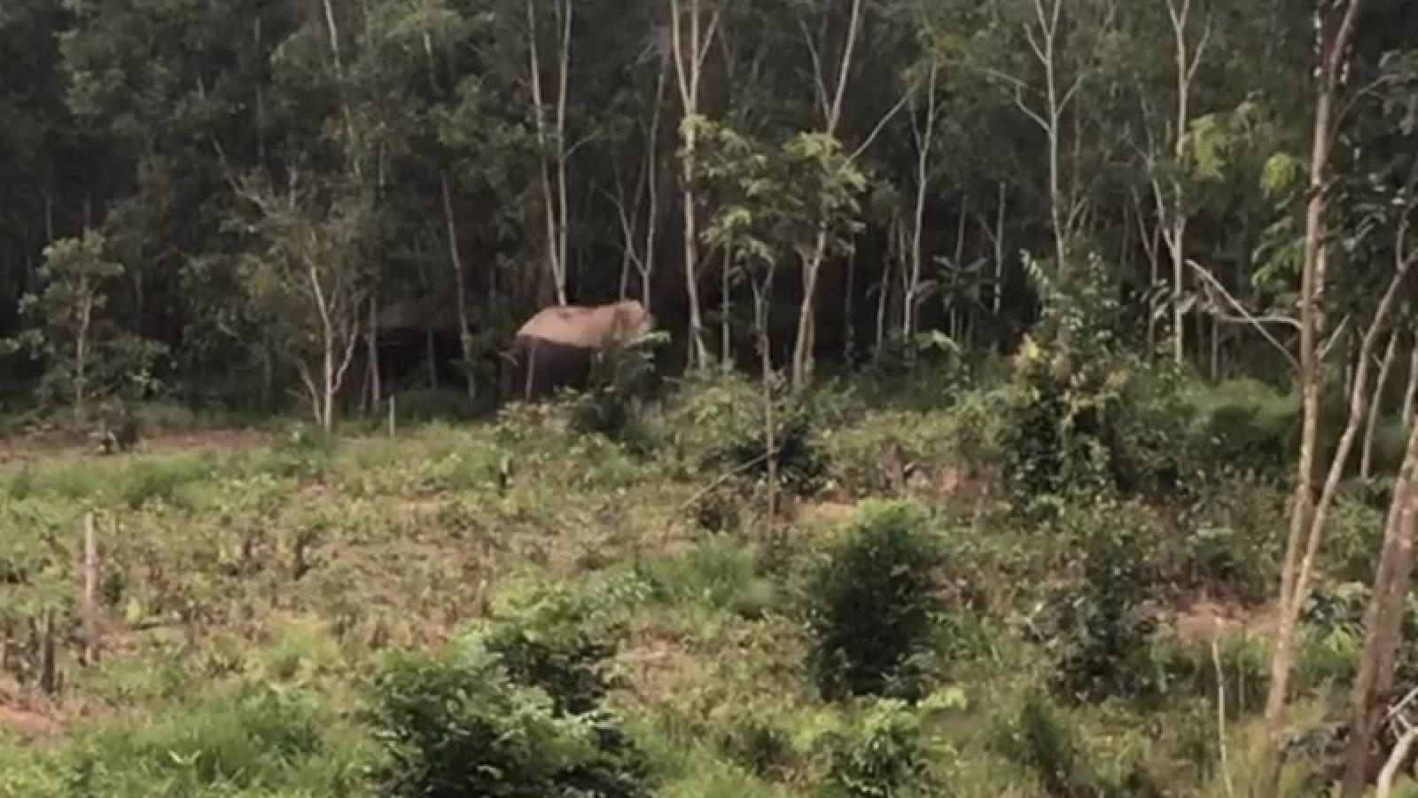 Voi rừng về phá rẫy đuổi dân ở Đắk Nông