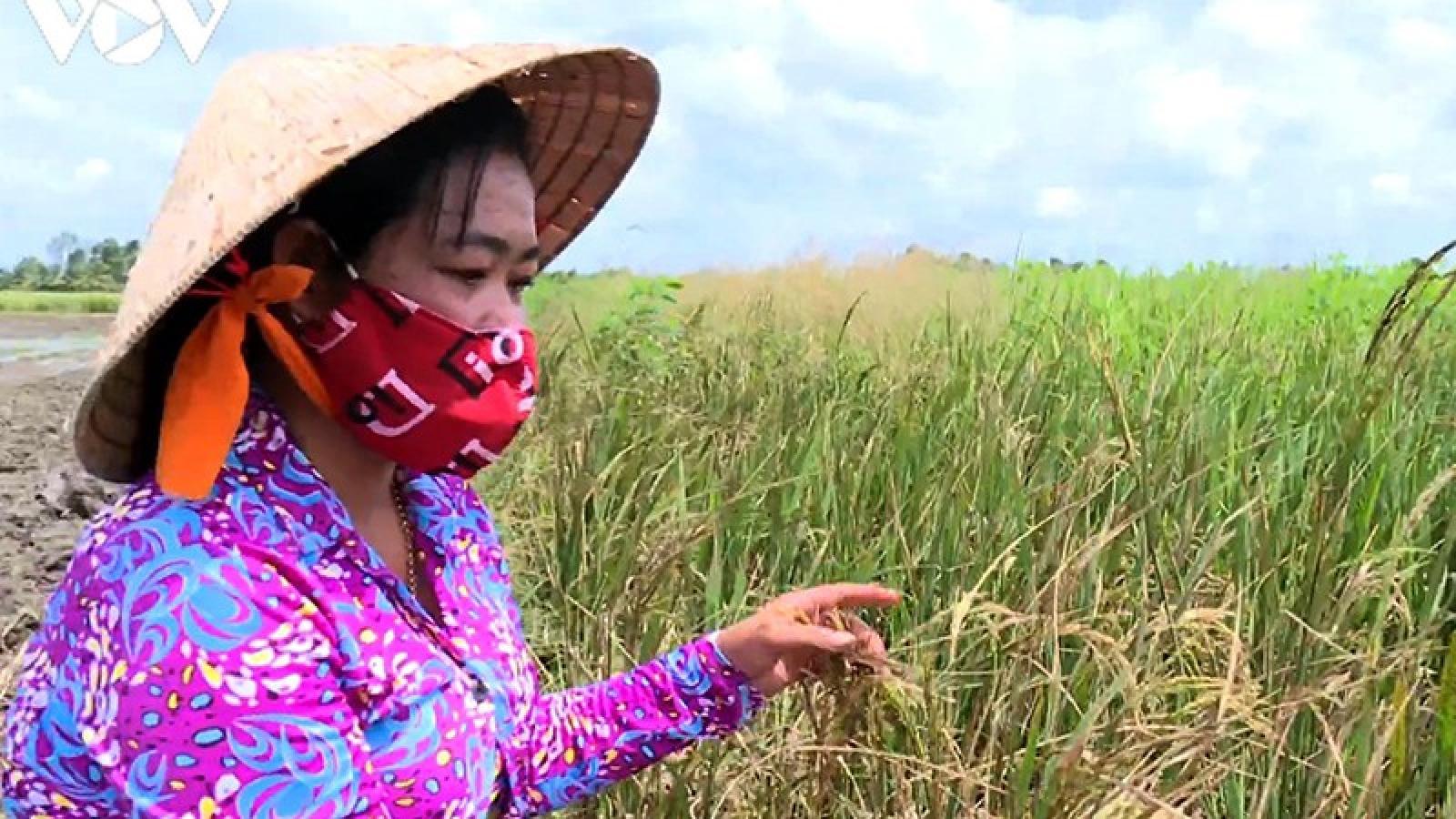 """Nông dân Trà Vinh """"hụt"""" thu vì lỡ nhận đặt cọc trước vụ lúa Hè thu"""