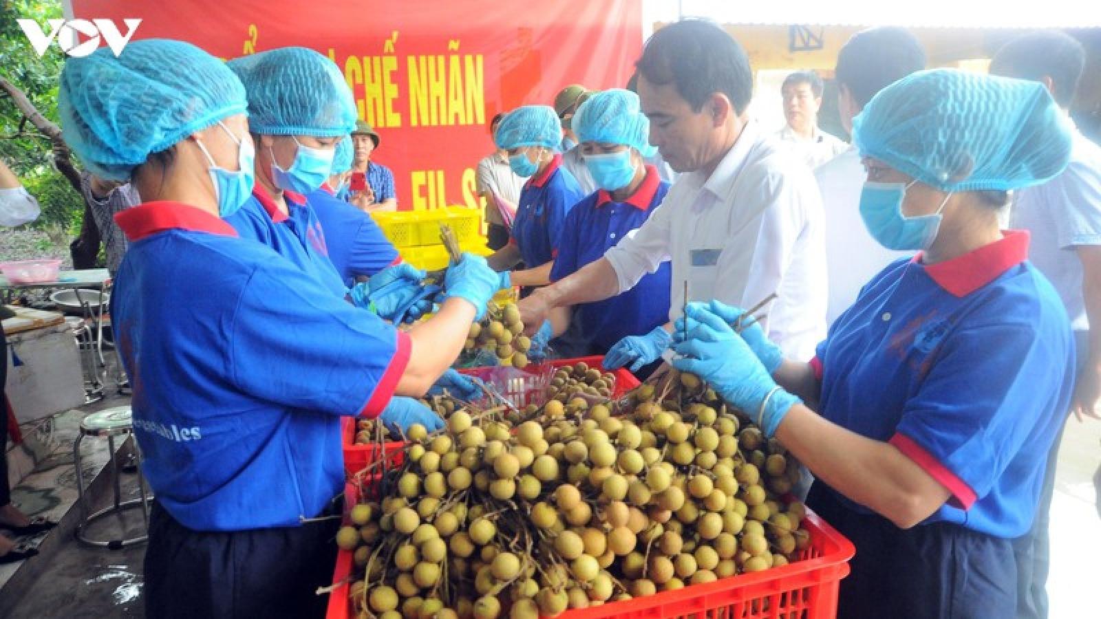 Hải Dương xuất khẩu lô nhãn tươi đầu vụ đi Singapore, Mỹ, Australia