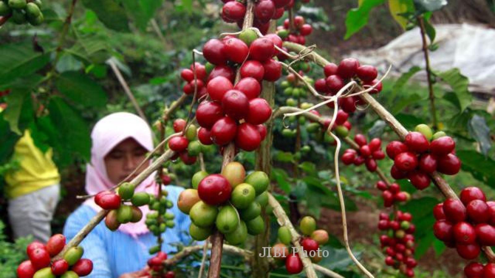 Indonesia quyết tâm vượt Việt Nam về sản lượng cà phê
