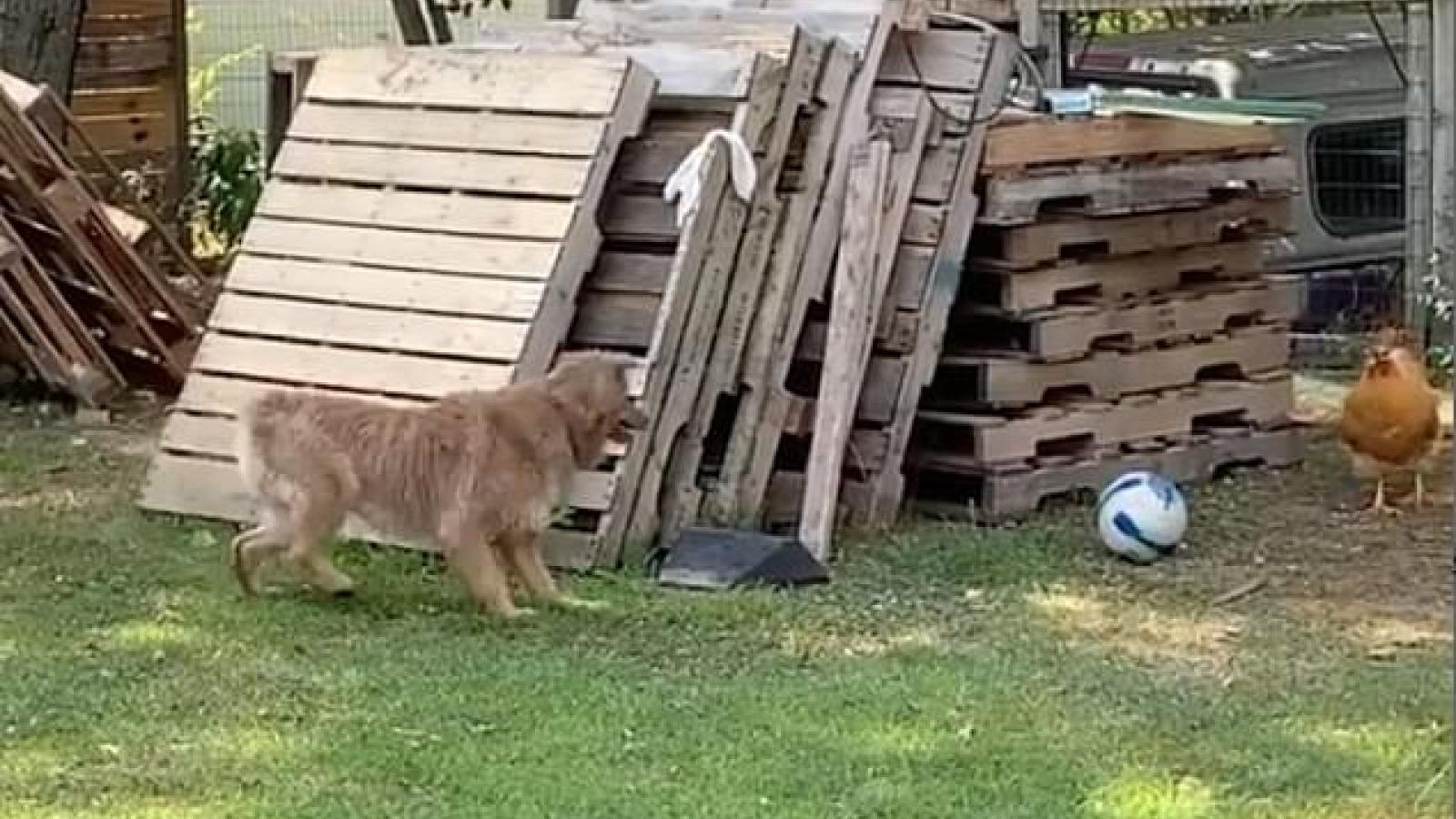 Video: Khoảnh khắc hài hước chó và gà chơi đuổi bắt trong sân vườn