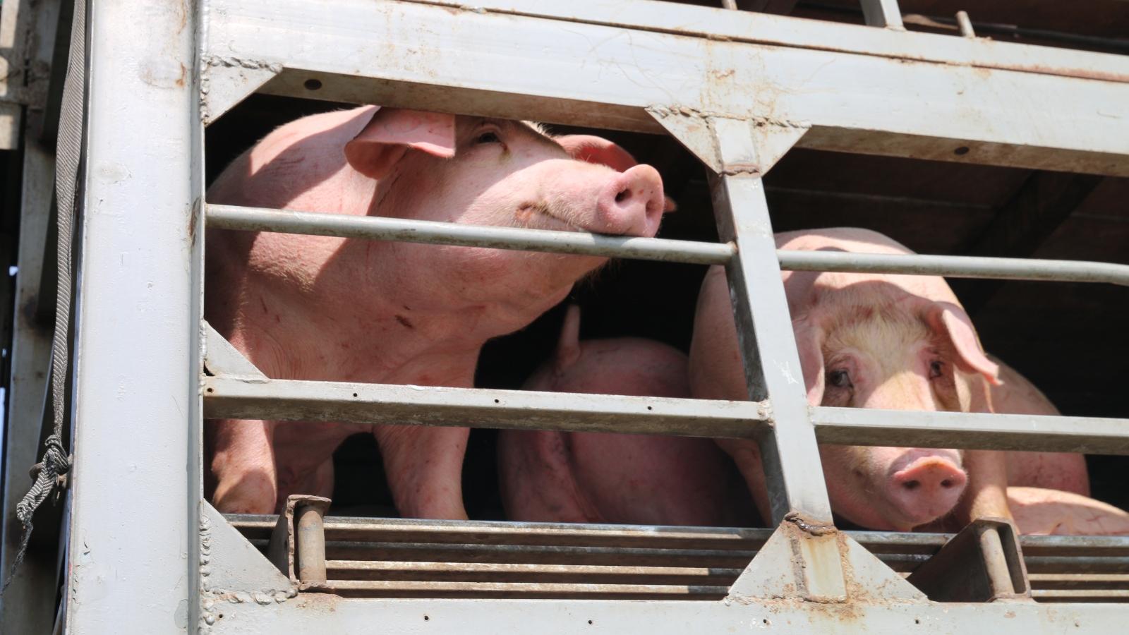 Giá lợn hơi vừa giảm lại quay đầu tăng mạnh