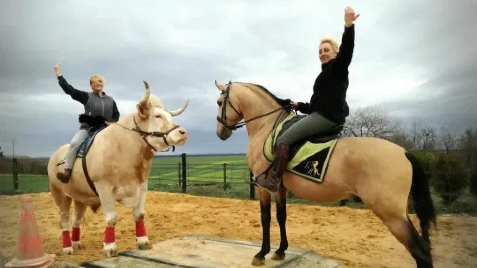 Video: Chú bò thông minh yêu thích làm ngựa, có thể nhảy cao như ngựa