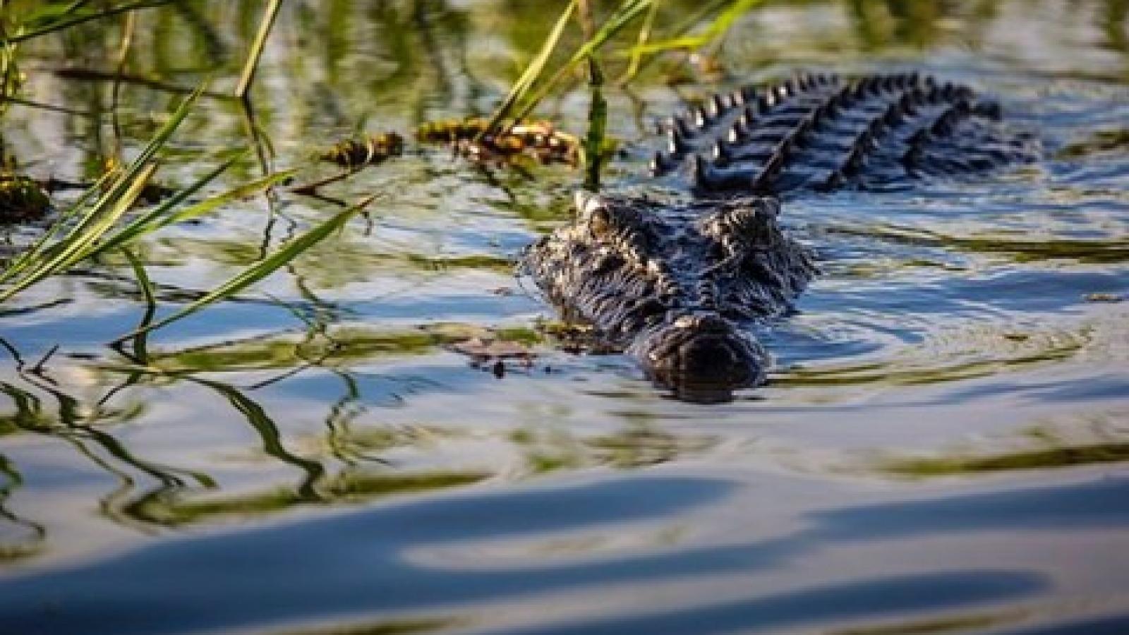 Nhận tin cá sấu xuất hiện trên sông Sài Gòn, Quận 12 phát cảnh báo đến dân