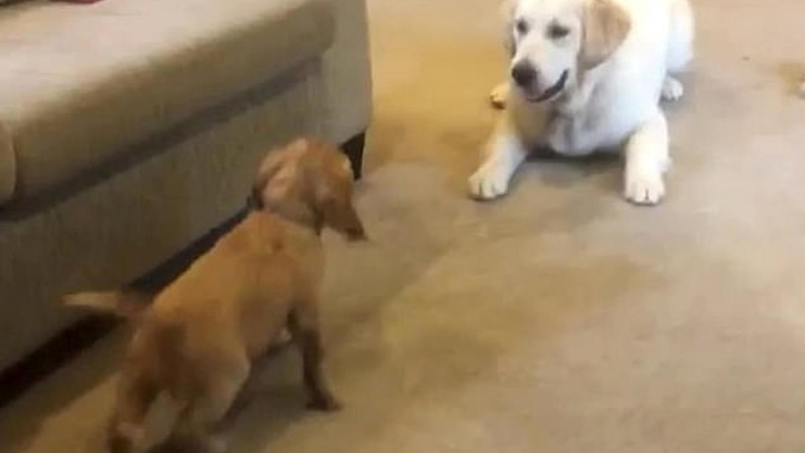 Video: Chú chó không thể kìm nén sự phấn khích khi được gặp bạn mới