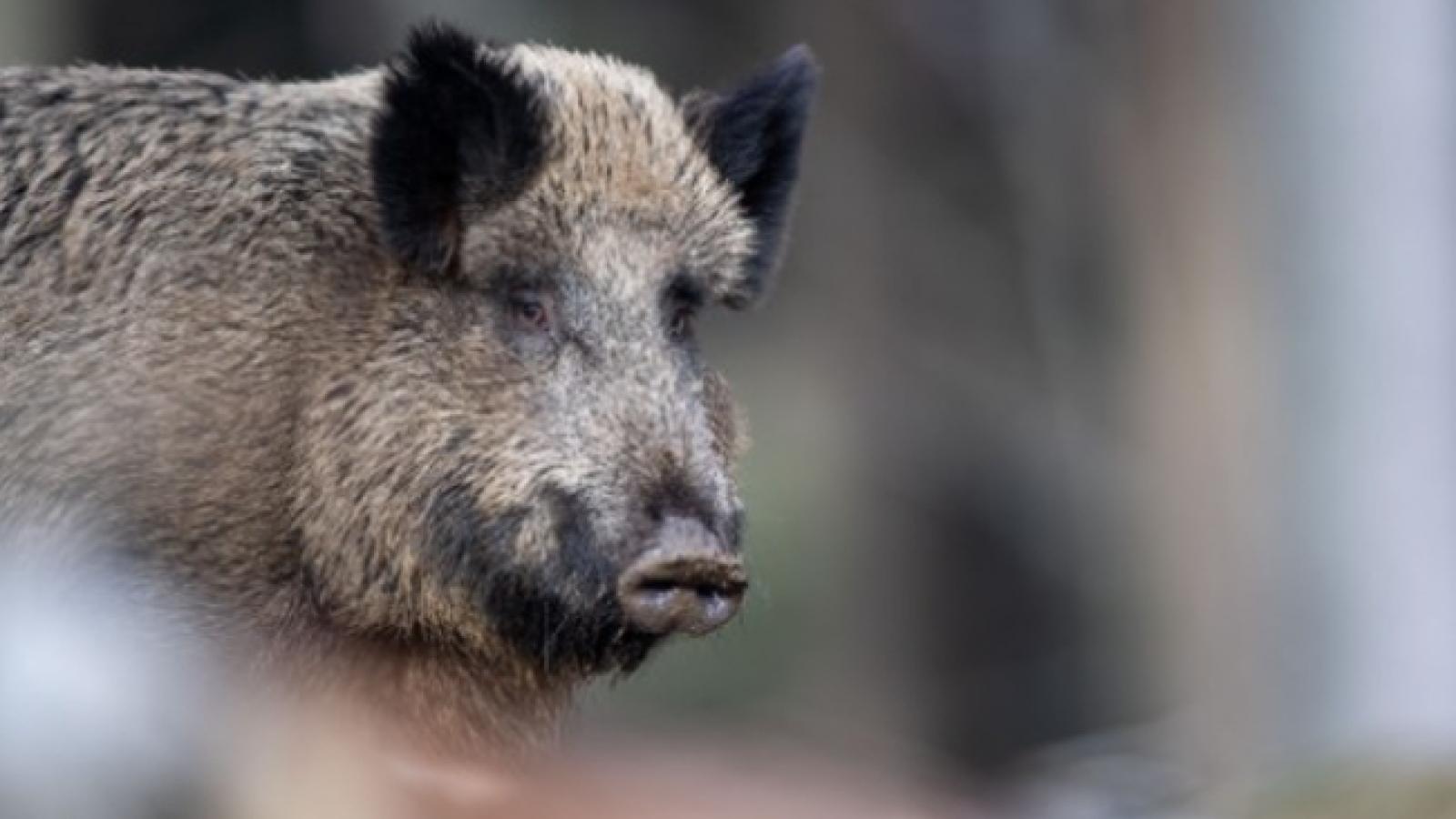 Hàn Quốc cấm nhập khẩu thịt lợn từ Đức do dịch tả lợn châu Phi