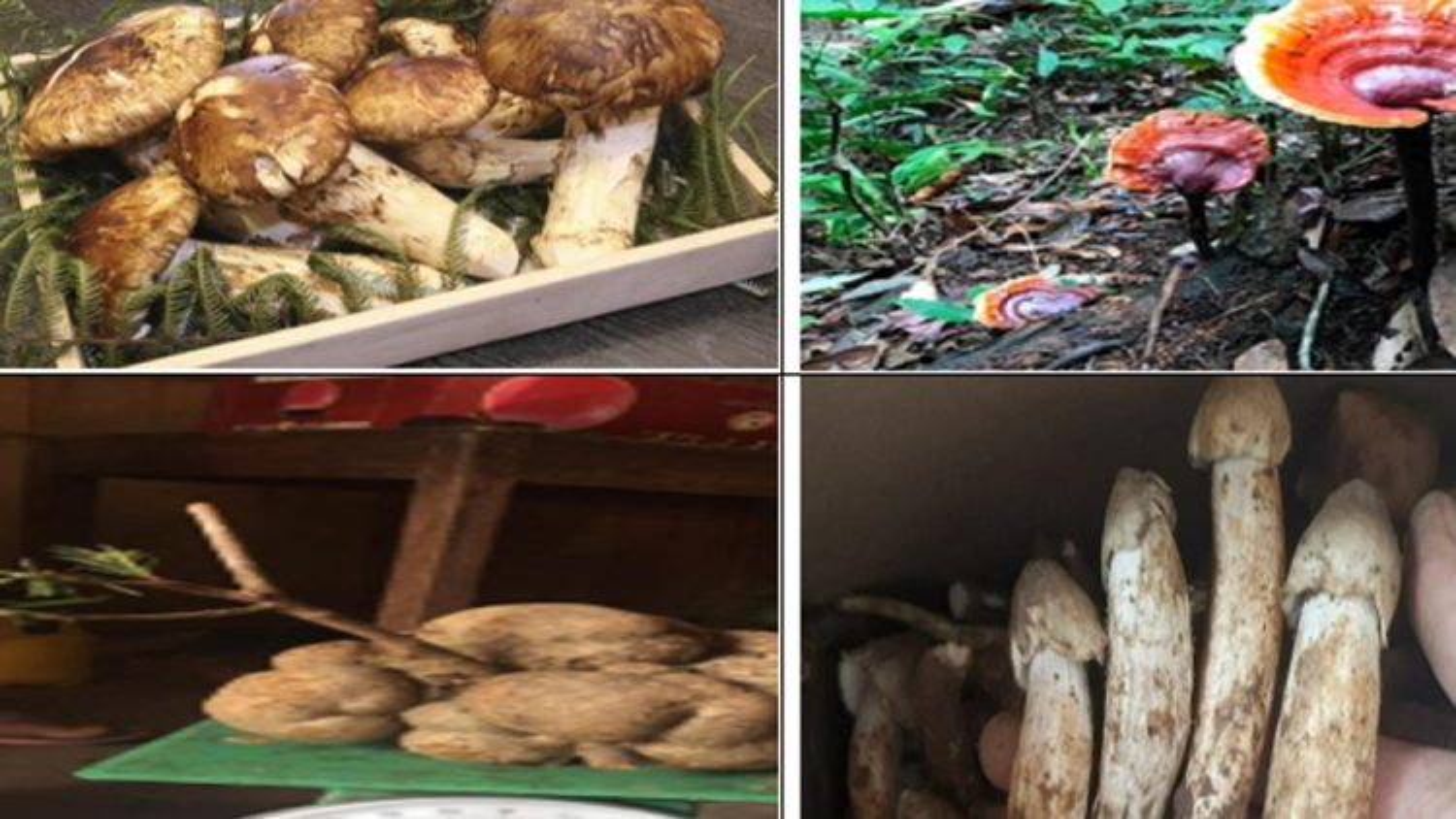 """Những loại nấm đắt đỏ được """"săn lùng"""" ở Việt Nam"""