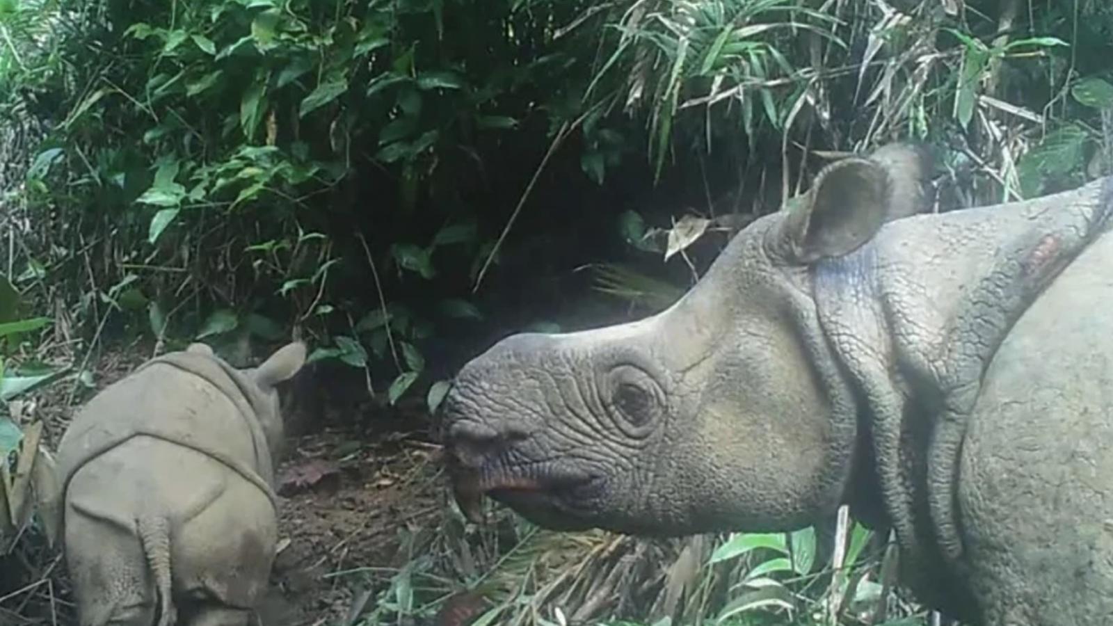 Hai con tê giác Java thuộc loài sắp tuyệt chủng ra đời tại Indonesia