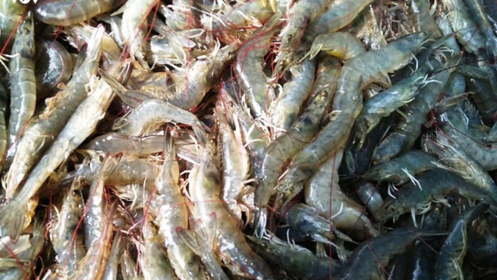 Gần 30.000 ha tôm nuôi thiệt hại không rõ nguyên nhân