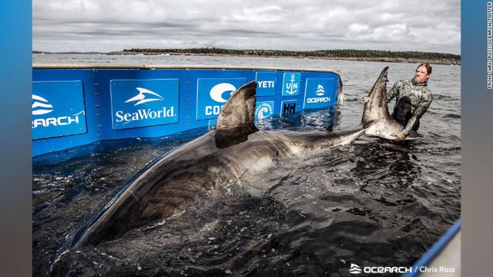 """Phát hiện cá mập khổng lồ nặng 1,6 tấn được mệnh danh """"nữ hoàng biển cả"""" ở Canada"""